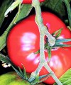 Tomate Roz(Pink)